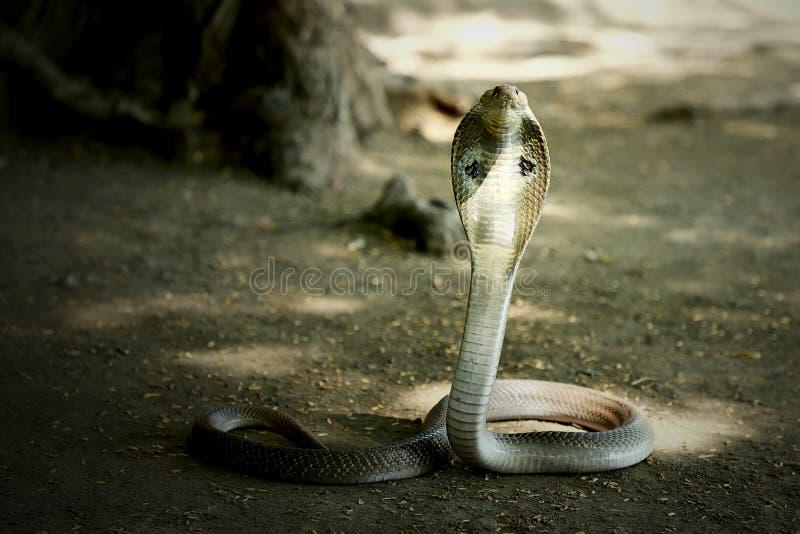 印第安眼镜蛇毒液蛇墙纸 免版税库存图片