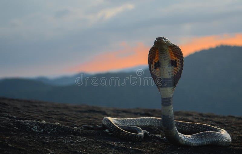 印第安眼镜蛇蛇在斯里兰卡 库存图片
