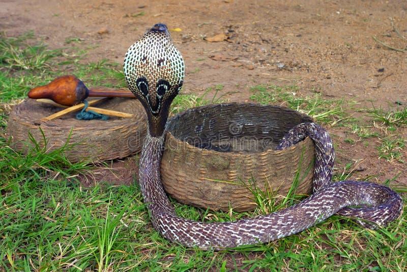 印第安眼镜蛇 免版税库存图片