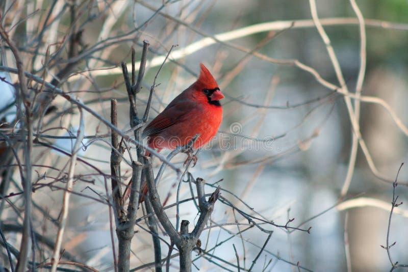 印第安纳国鸟 免版税库存照片