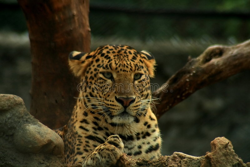 印第安豹子纵向 免版税库存图片