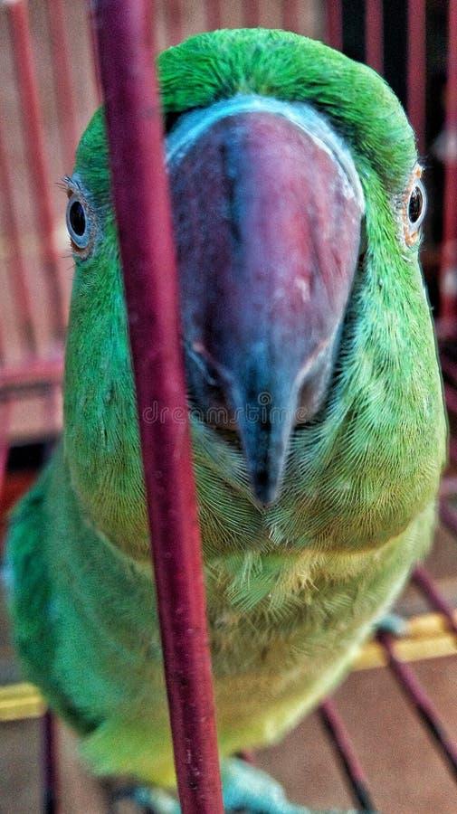 印第安鹦鹉 免版税库存图片