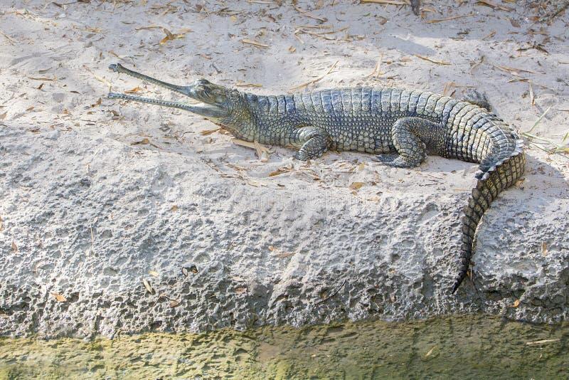 印第安gharial鳄鱼 库存图片