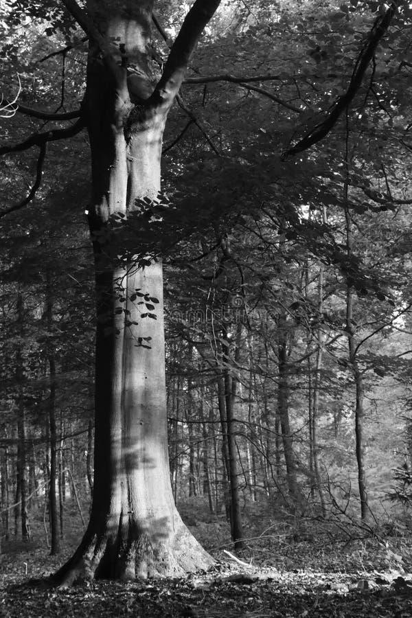 印象深刻的山毛榉树 库存照片