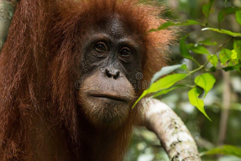 危急地危险的苏门答腊猩猩类人猿abelii特写镜头在古农列尤择国家公园在北苏门答腊,印度尼西亚 库存照片