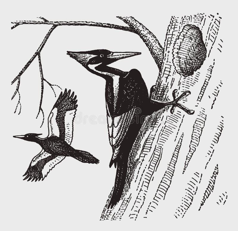 危急地挖掘在树干的危险的象牙开帐单的啄木鸟帝啄木鸟principalis一个孔 皇族释放例证