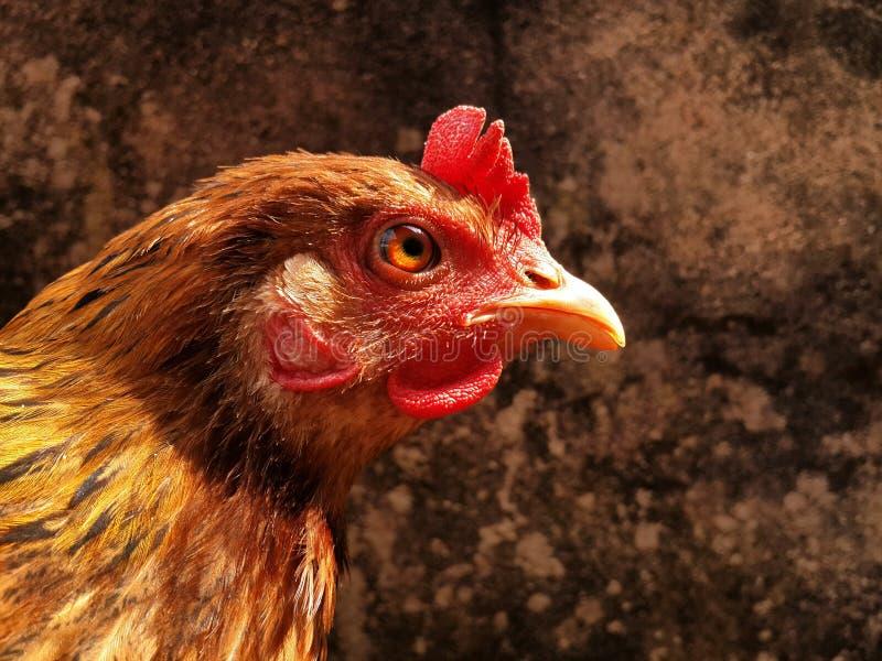 危急地看照相机的印地安母鸡 图库摄影