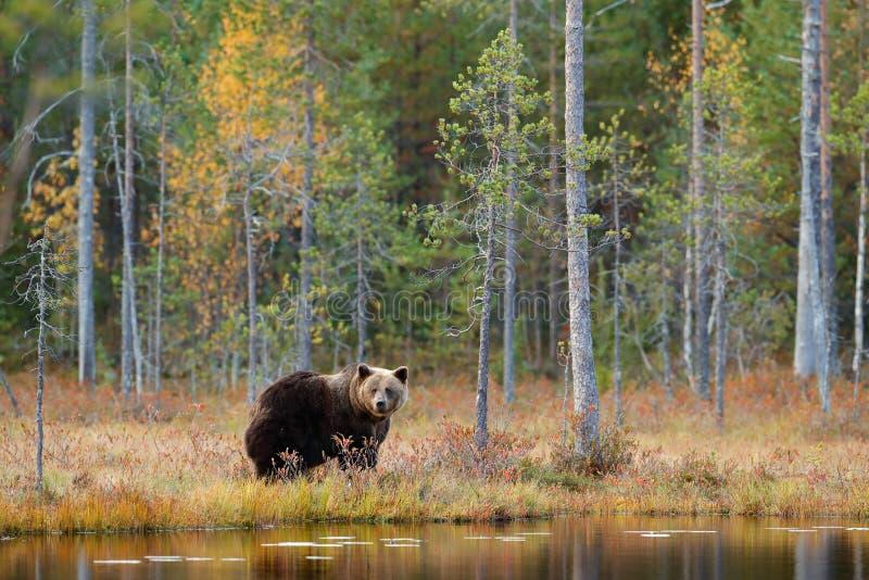 危险动物在自然森林和草甸栖所里 从芬兰的野生生物场面在更加大胆的俄罗斯附近 有熊的秋天森林 义卖市场 免版税库存图片