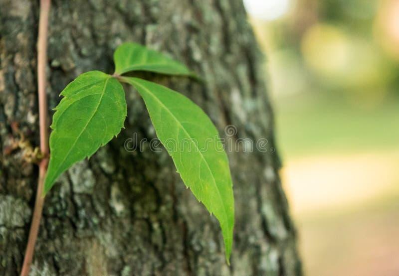 危险在森林里-三毒物常春藤叶子  库存照片