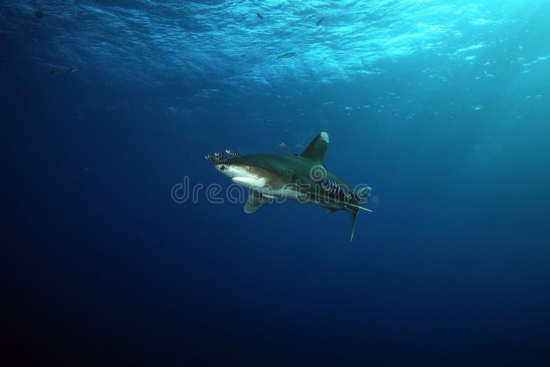 危险大鲨鱼红海 免版税库存图片