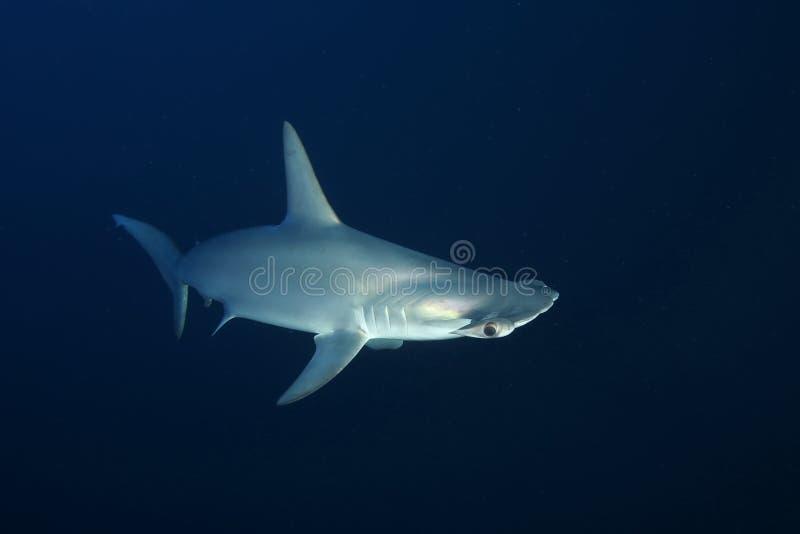 危险大鲨鱼红海 免版税库存照片