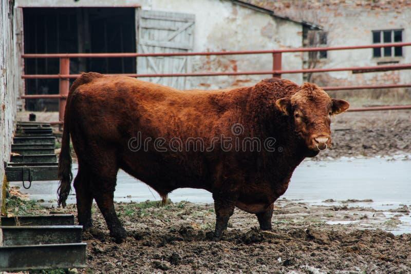 危险查找的公牛 免版税图库摄影