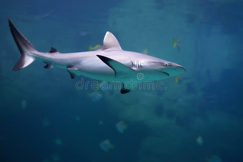 危险灰色礁石鲨鱼在海洋 库存图片