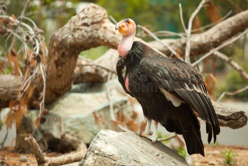 危险的加州秃鹰 库存照片