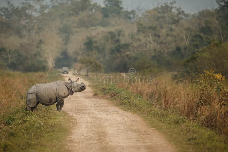 危险的印地安犀牛在自然栖所 库存图片