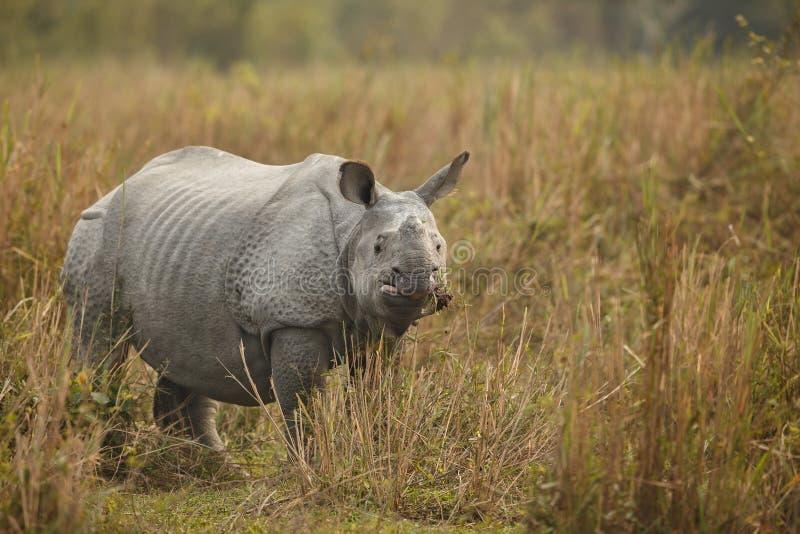 危险的印地安犀牛在自然栖所 库存照片