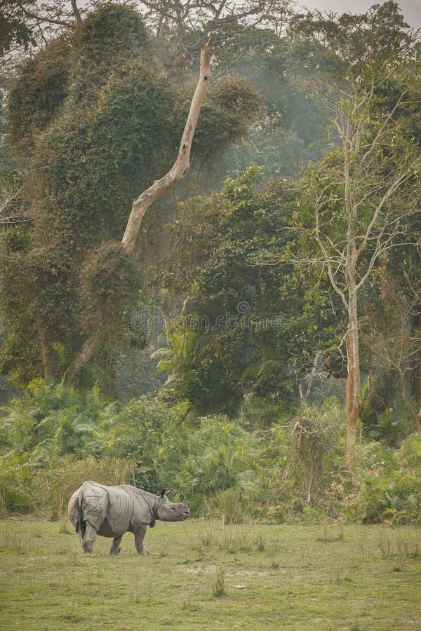危险的印地安犀牛在自然栖所 免版税库存照片