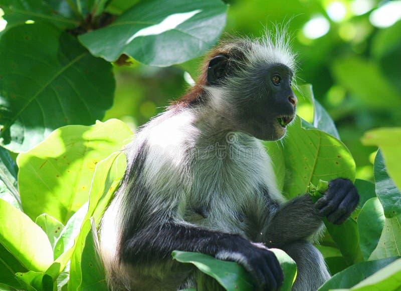 危险的幼小红色短尾猴Piliocolobus,吃在树的Procolobus kirkii一片叶子 库存照片