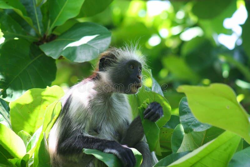 危险的幼小红色短尾猴Piliocolobus,吃在树的Procolobus kirkii一片叶子 免版税库存照片