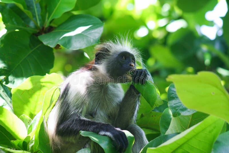 危险的幼小红色短尾猴Piliocolobus,吃在树o的Procolobus kirkii一片叶子 免版税库存照片