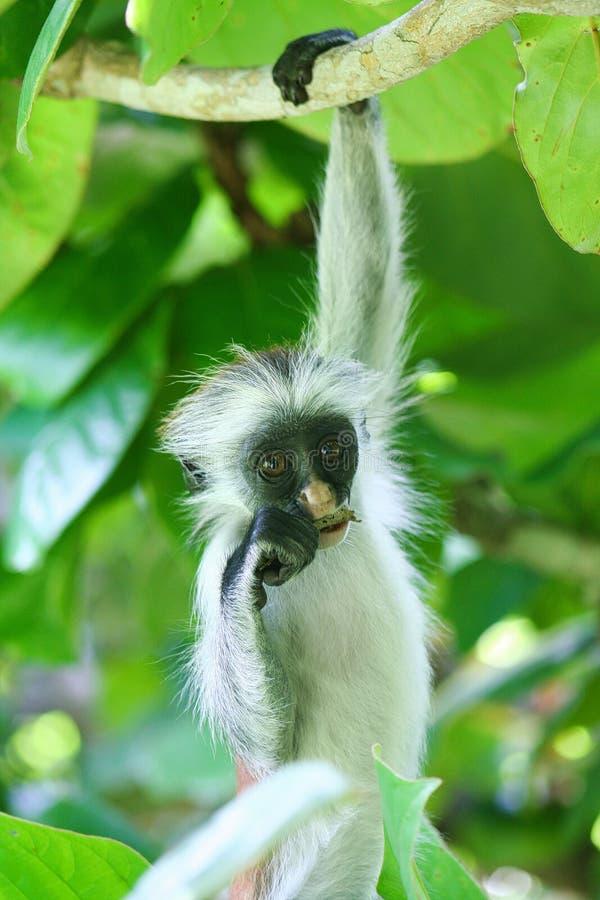 危险的幼小红色短尾猴Piliocolobus,垂悬在分支的Procolobus kirkii吃在树的一片叶子 库存照片