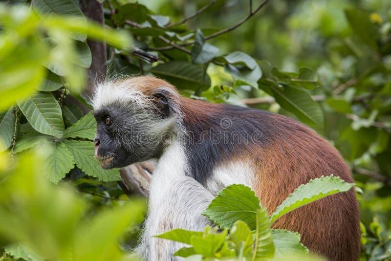 危险的桑给巴尔红色短尾猴(Procolobus kirkii), Joza 免版税库存图片