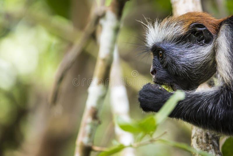 危险的桑给巴尔红色短尾猴(Procolobus kirkii), Joza 库存照片