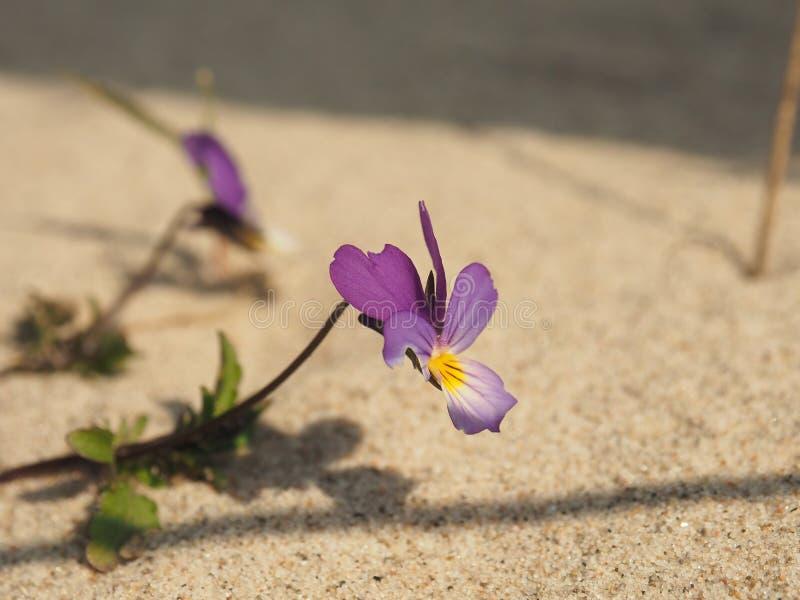 危险的植物种类中提琴三色curtisii 免版税库存照片