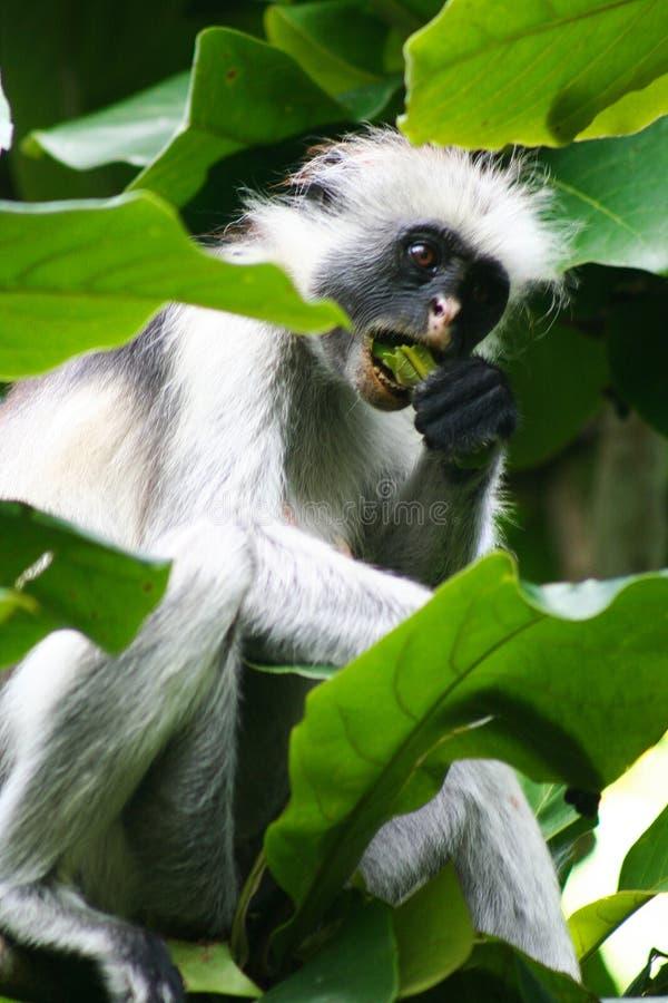 危险的红色短尾猴Piliocolobus,吃在Jozani森林,桑给巴尔树的Procolobus kirkii一片叶子  图库摄影