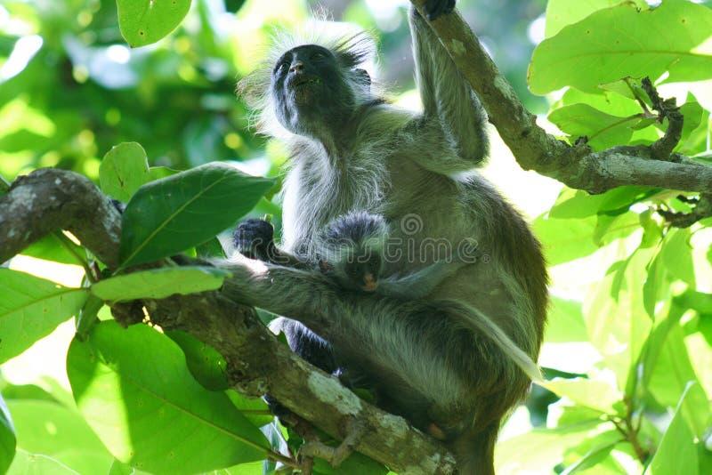 危险的红色短尾猴Piliocolobus,Procolobus有婴孩的kirkii母亲Jozani森林,桑给巴尔树的  免版税库存照片