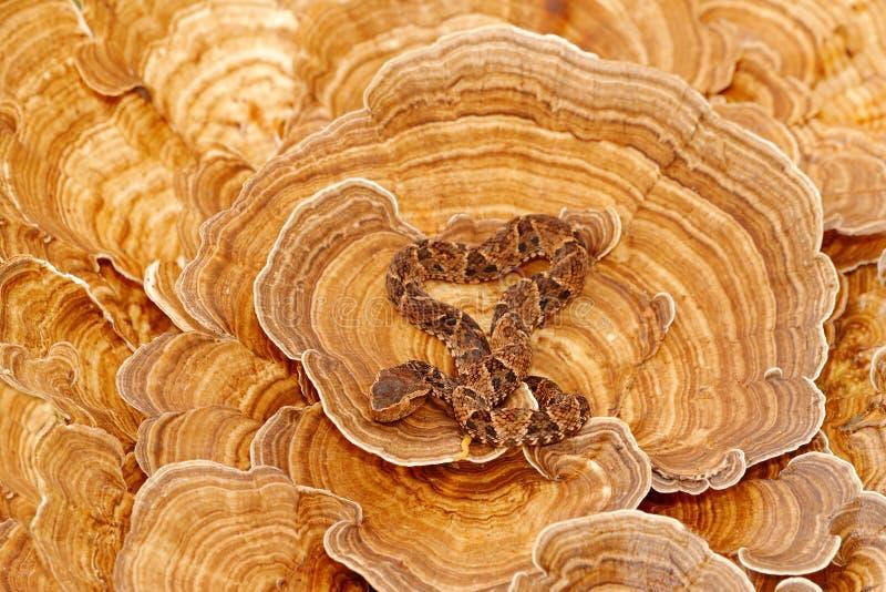 危险蛇在自然栖所 具窍蝮蛇属asper, Fer de长矛,在树真菌 毒蛇在自然栖所 poi 免版税库存图片