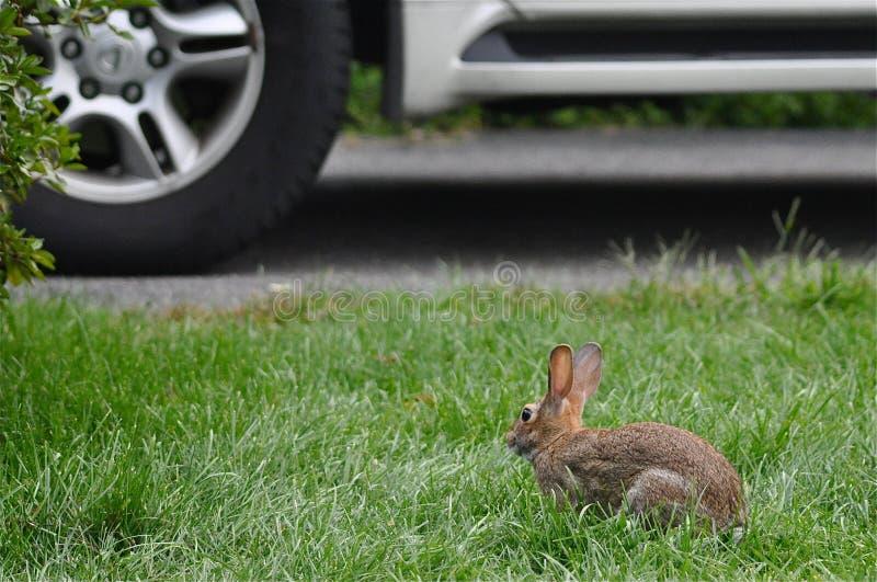 危险野兔 免版税库存图片