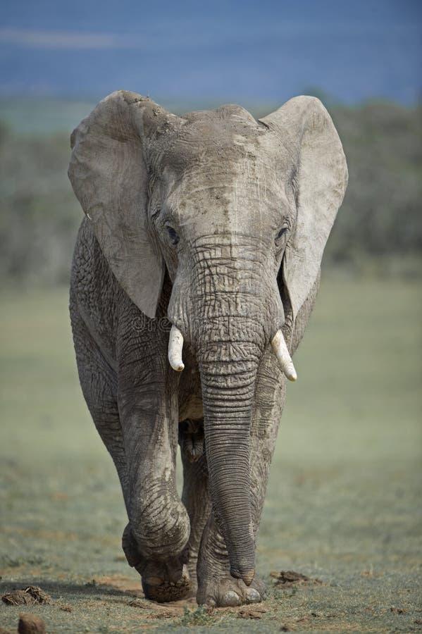 即将来临的大象 免版税库存照片