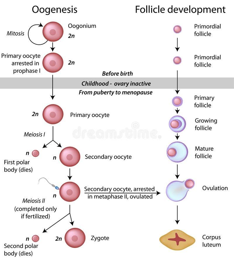 卵子发生 库存例证