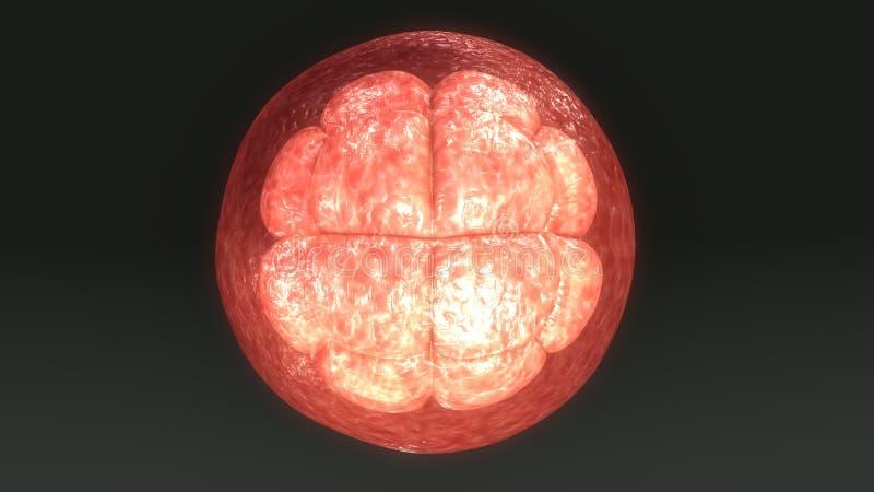 卵子细胞分裂 皇族释放例证