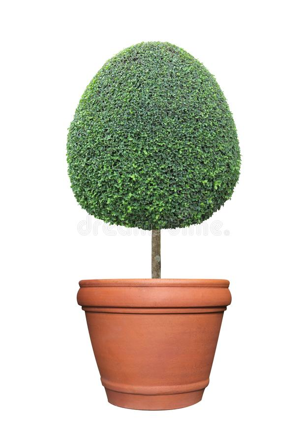 卵形蛋形状截去了在赤土陶器在正式日语的白色背景隔绝的泥罐容器的修剪的花园树和英语 免版税图库摄影