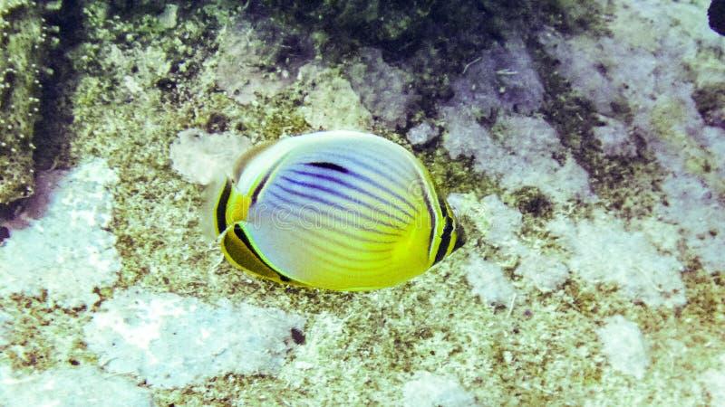 卵形蝴蝶鱼在马尔代夫 库存图片