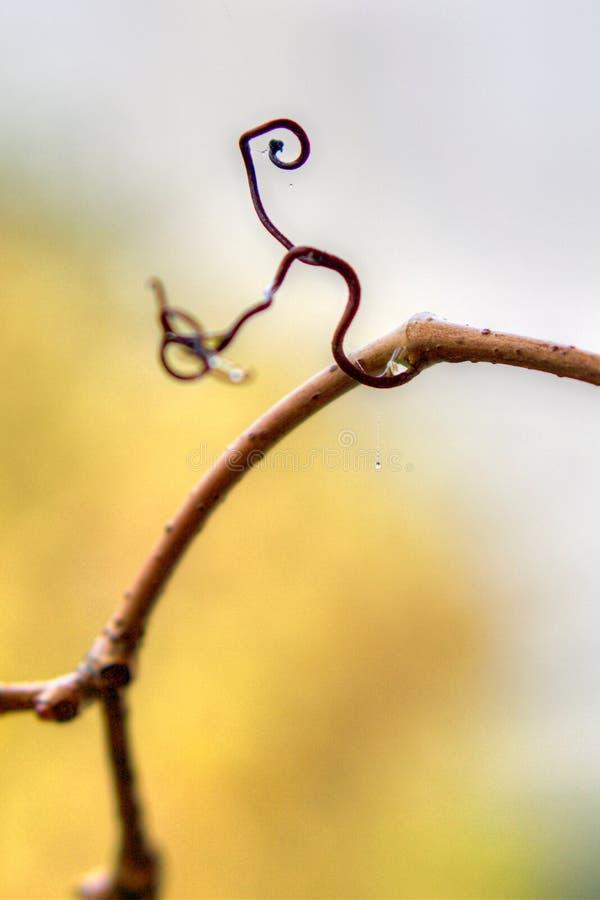 卷曲的常春藤枝杈在秋天 免版税库存图片
