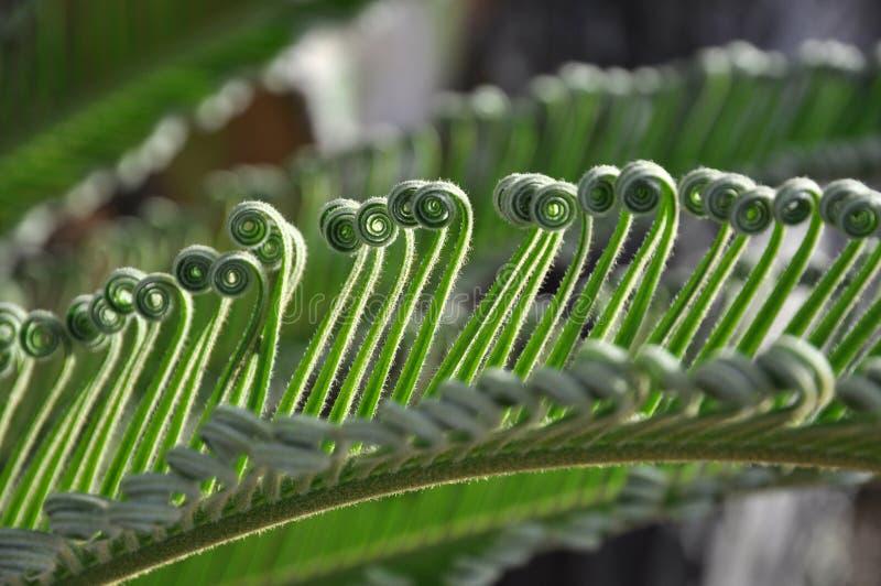 卷曲苏铁科的植物绿色 库存照片
