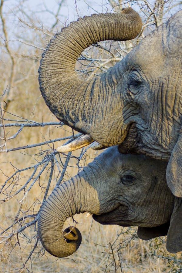 卷曲他们的树干的大象 免版税库存图片
