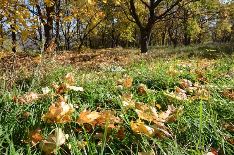 卷曲黄色槭树在绿草离开在秋天森林,抽象背景 免版税库存照片
