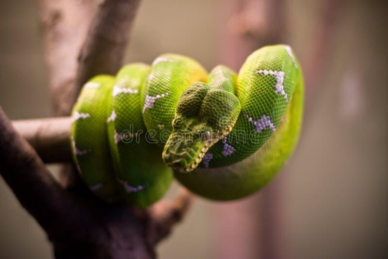 卷起的蛇 免版税库存照片