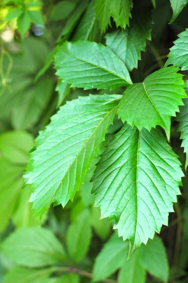 卷须上升的植物叶子反对砖篱芭的 免版税库存照片