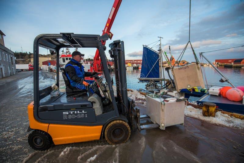 卸载鳕鱼的渔夫在挪威使用铲车 库存图片