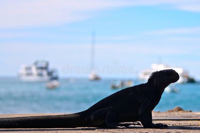 厄瓜多尔加拉帕戈斯海洋鬣鳞蜥的海岛 库存照片