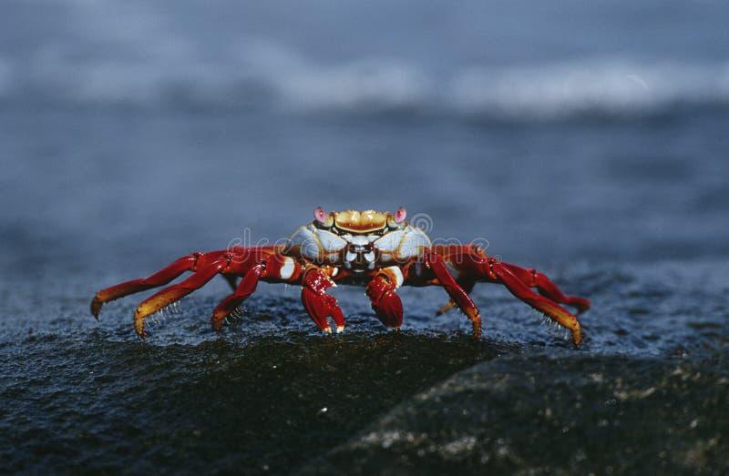 厄瓜多尔加拉帕戈斯群岛在岩石关闭的萨莉Lightfoot螃蟹 库存照片