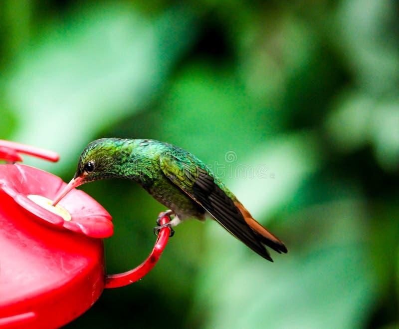 从厄瓜多尔雨林的五颜六色的蜂鸟 免版税库存图片