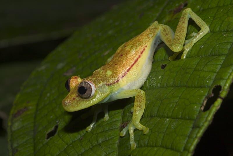 厄瓜多尔青蛙绿色 库存照片