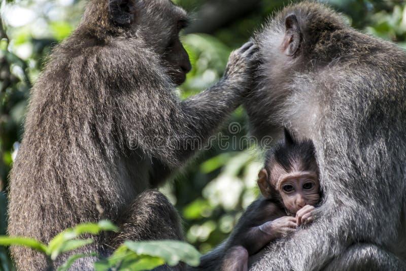 巴厘岛印度尼西亚Ubud猴子森林家庭 免版税图库摄影