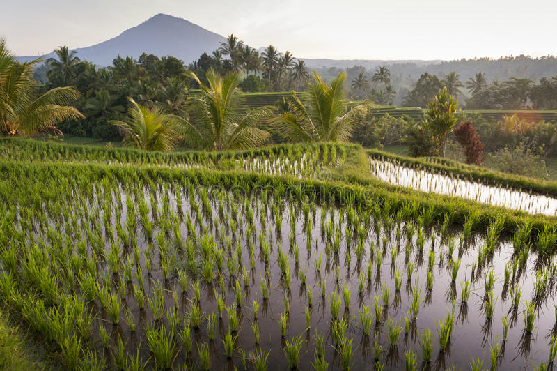 巴厘岛米领域 免版税图库摄影